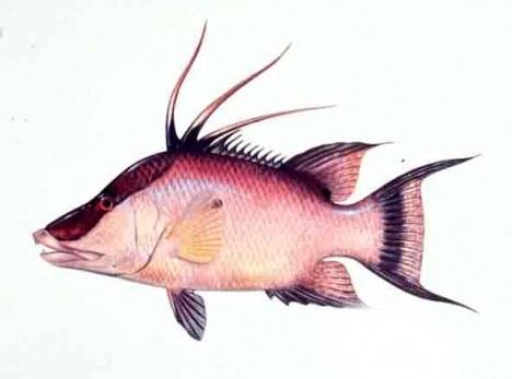 grillgirl, hogfish snapper illustration