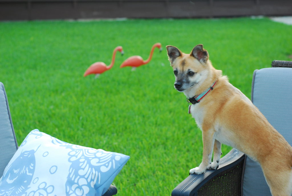 Chloe, (Chi-Shiba Inu Mix of cuteness) on the hunt for lizards in the back yard.