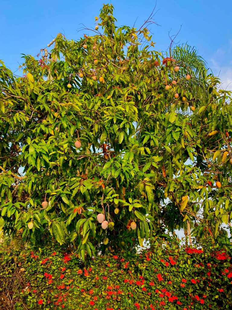 mango tree in full bloom